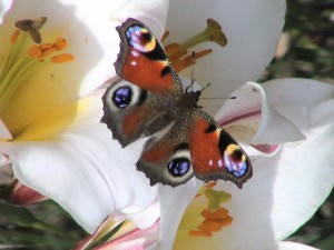 Siendo Mariposa